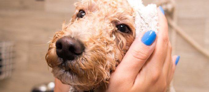Toiletter son chien à la maison